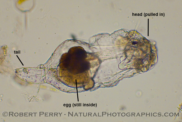 Rotifer - head inside - 2011 01-13 Zuma Plankton - 174 - small - labels