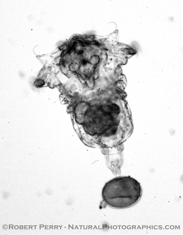 rotifer towing egg B&W_Zuma_2005-03-11-042