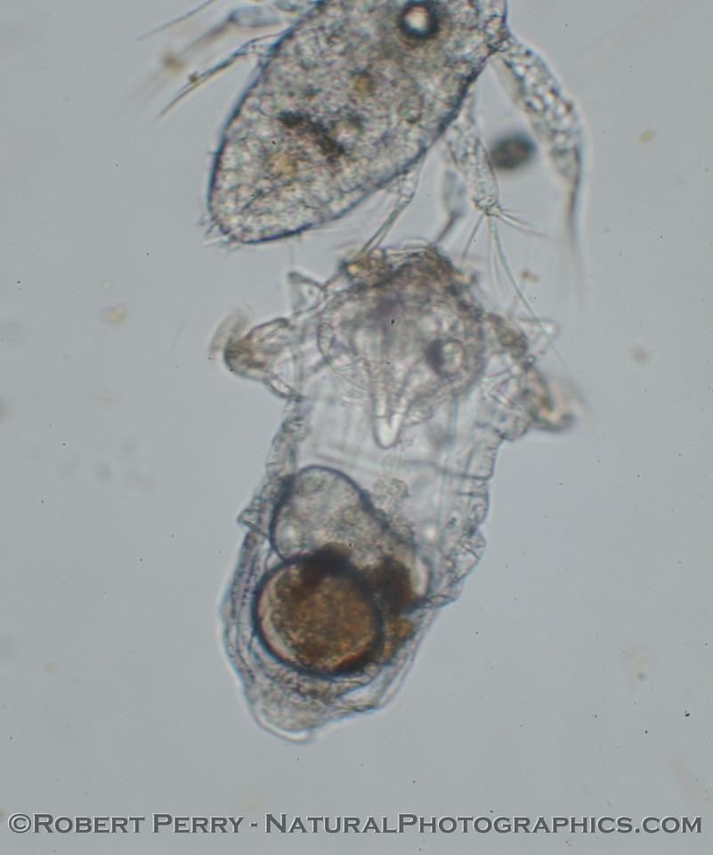 rotifer & nauplius 2006 02-02 Zuma-0014