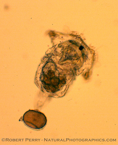 rotifer towing egg_Zuma_2005-03-11-037