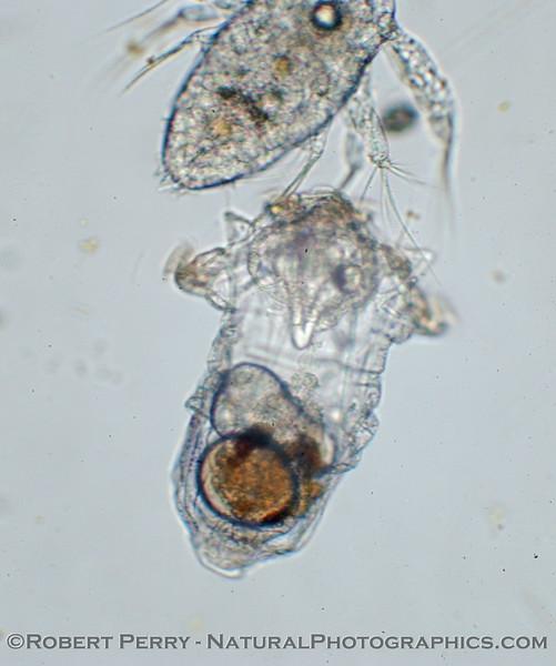 rotifer & nauplius 2006 02-02 Zuma-0014mod