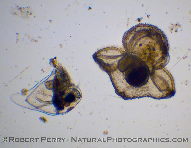 Pilidium larva nemertean 2011 02-03 Zuma Plankton - 001