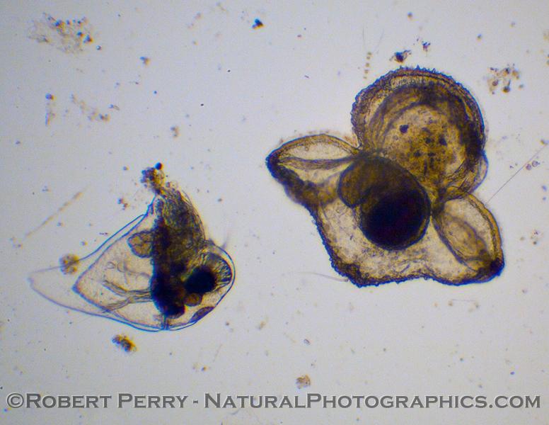 Pilidium larva nemertean 2011 02-03 Zuma Plankton - 002