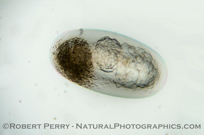Engraulis mordax EGG embryo 2012 12-06 Zuma-293