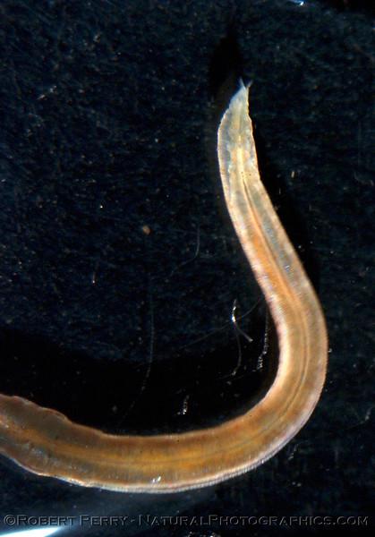 ID cephalochordate NIGHT baklight Catalina_2004_08-27--094crop