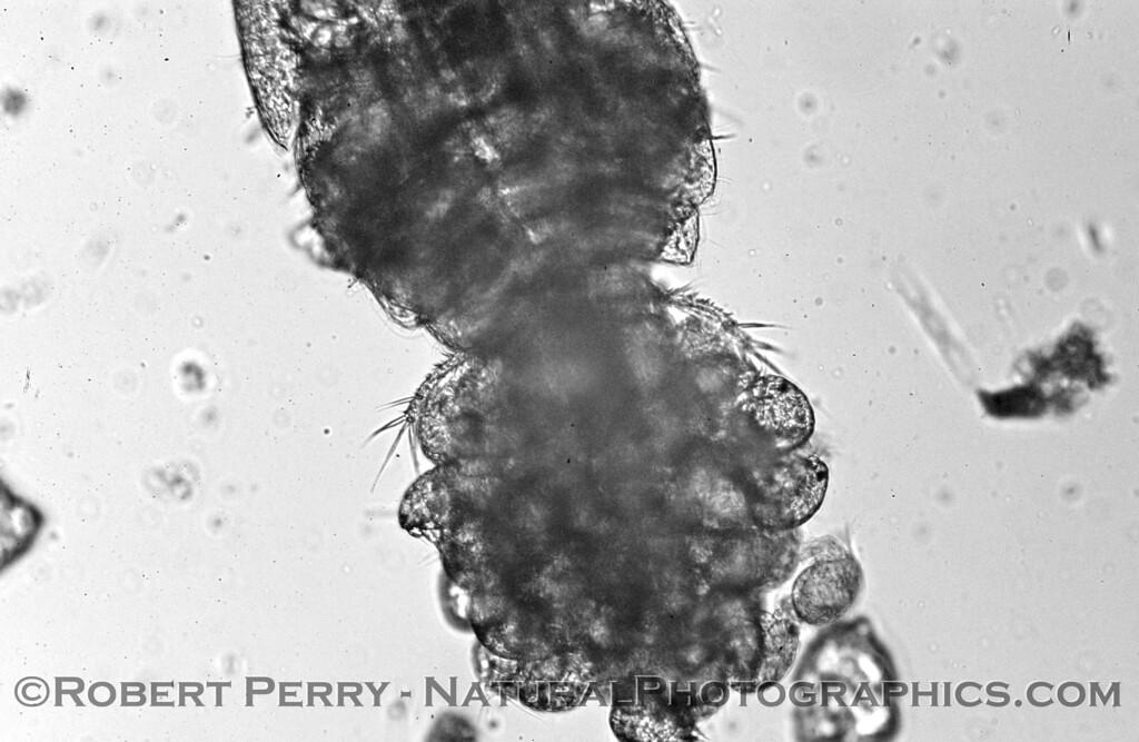 cyclopoid copepod eggs hatching nauplii B&W_Zuma_2005-03-04-030