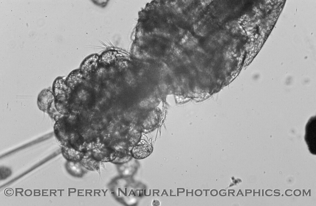 cyclopoid copepod w eggs hatching nauplii B&W_Zuma_2005-03-04-033