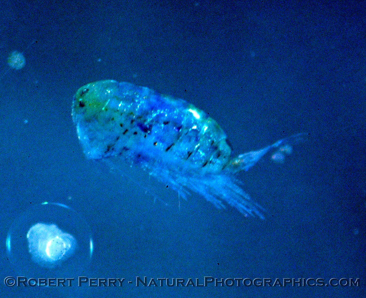 copepod calanoid BLUE Sea_World_2004_07_22--029