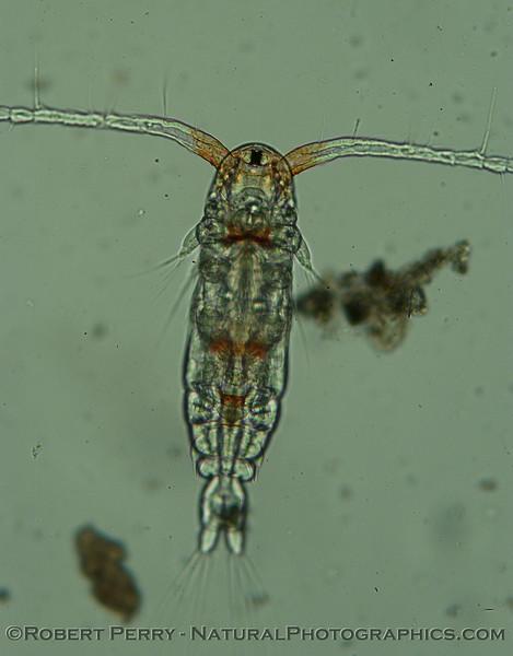 calanoid copepod Zuma_Micro_2005_01-24--130