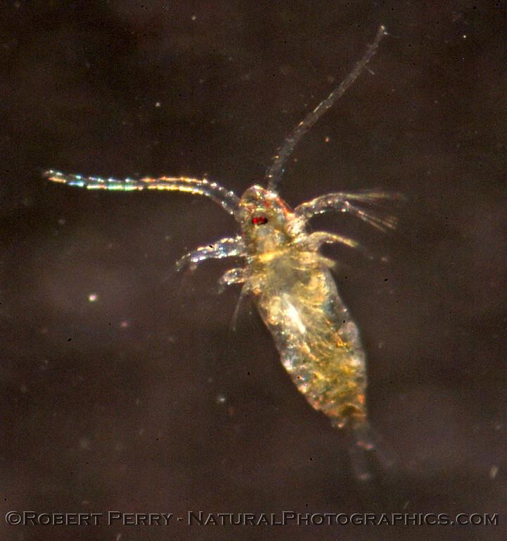copepod calanoid del_Rey_2004_12-05--065