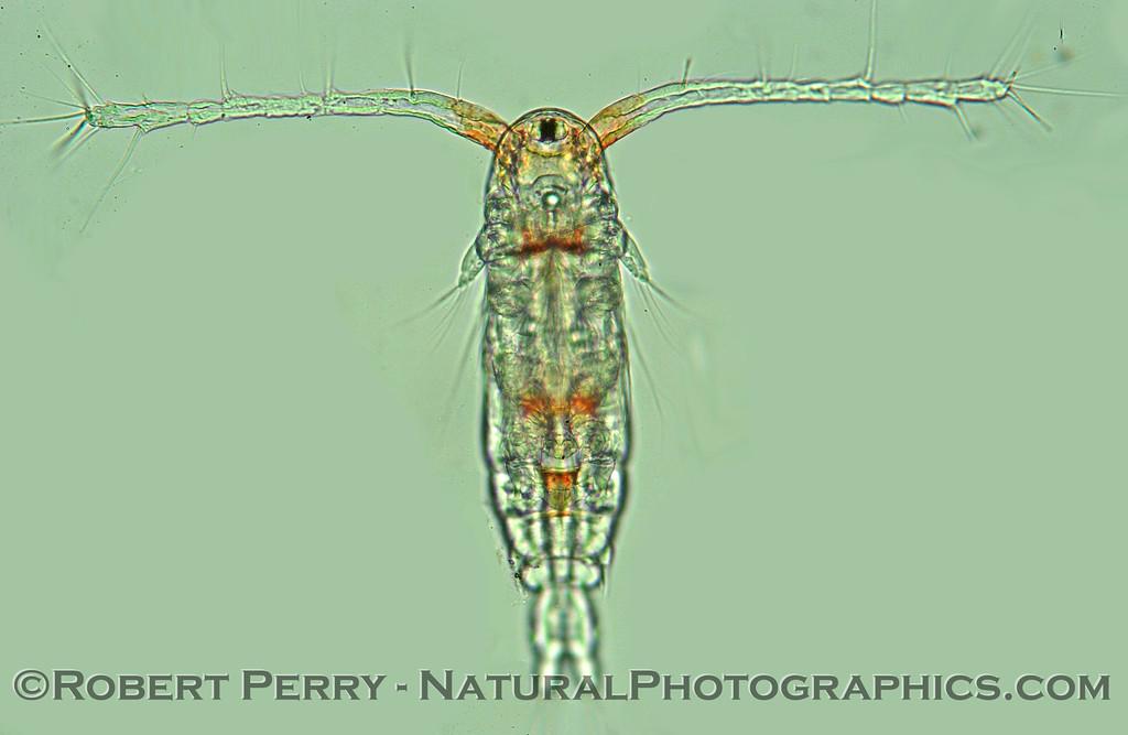 calanoid copepod Zuma_Micro_2005_01-24--002mod