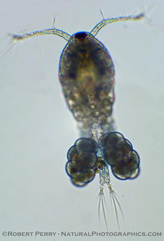gravid copepod 2010 02-04 Zuma COMPOSITE