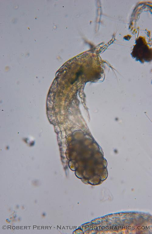 Euterpina acutifrons w eggs copepod harpacticoid 2008 02-14 Zuma-077mod