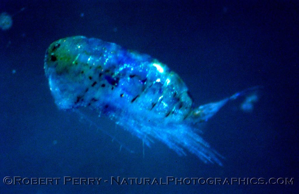 copepod calanoid BLUE Sea_World_2004_07_22--031