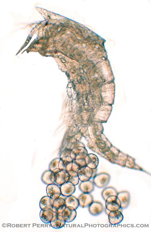 copepod w eggs lateral_Zuma_2005-04-08_022