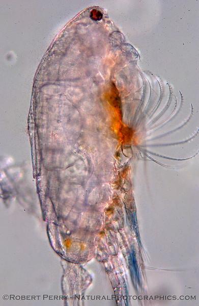Calanoid copepod lateral composite_Zuma_2005_03-03_170