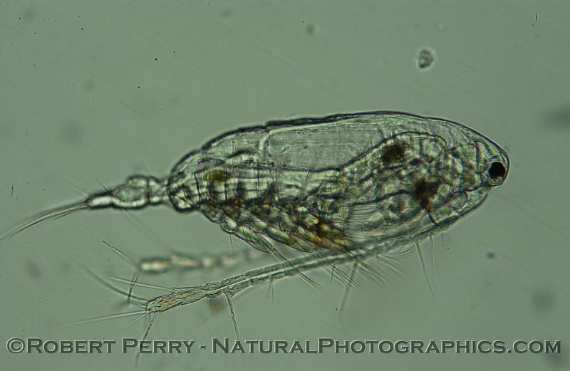 calanoid copepod lateral Zuma_Micro_2005_01-24--012