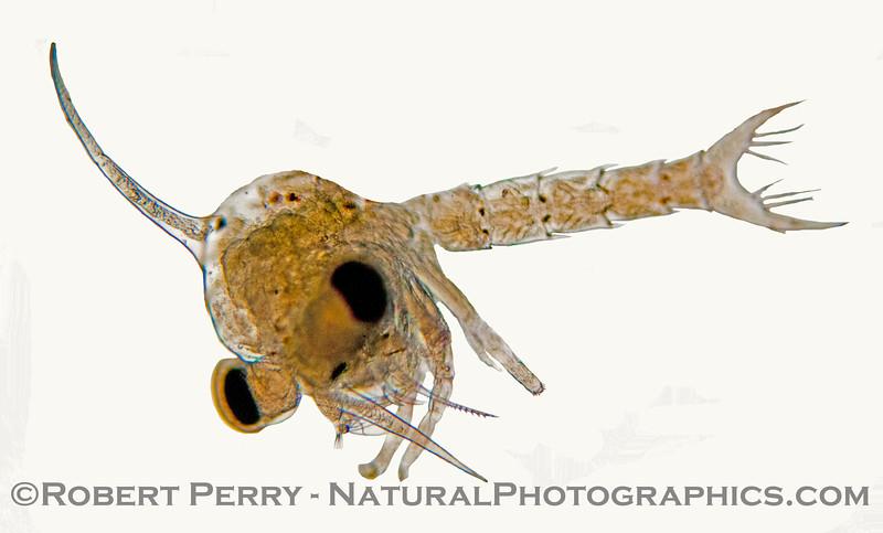 1-zoea of crab 2013 02-21 Zuma-a-023