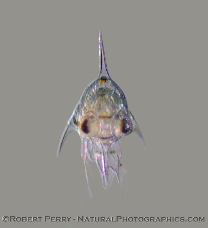 Brachyuran crab zoea COMPOSITE 2008 02-14 Zuma--008modCROPcleaned