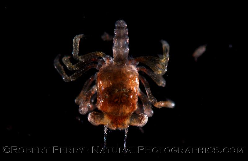 Megalopa dorsal Zuma_2004_11-15-118