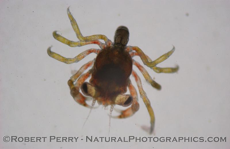 Megalopa dorsal Zuma_2004_11-15-074