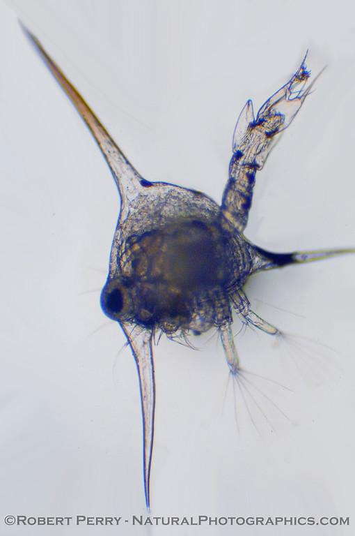 Brachyuran crab zoea 2010 02-25 Zuma Plankton - 030