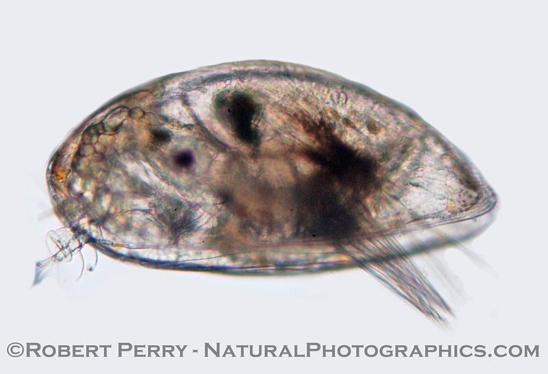 cypris larva Zuma_2004_11-04-084modCROP
