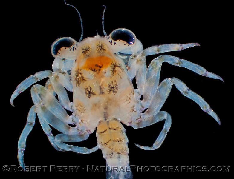 megalopa of crab 2013 02-21 Zuma-047