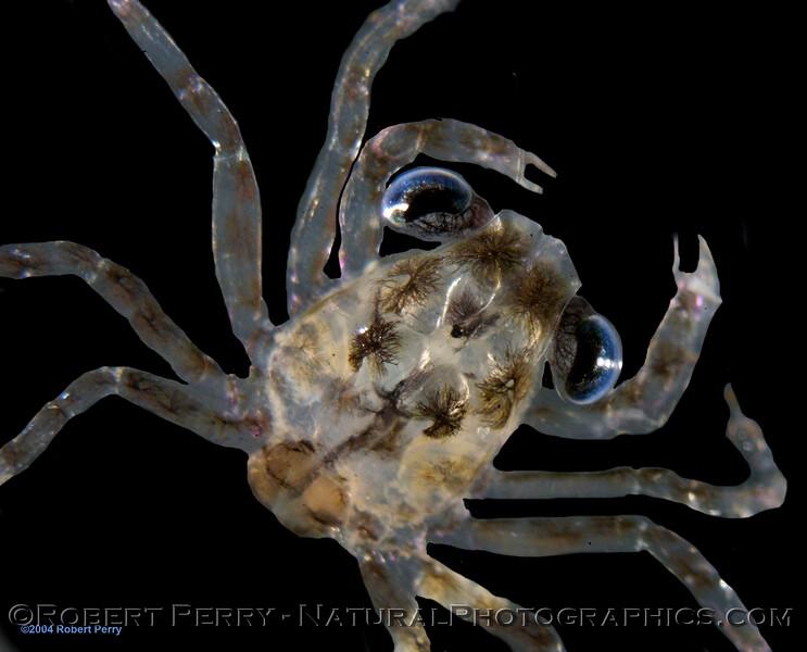 crab megalopa  Zuma_2004_10-28-012modMOD