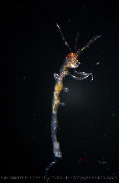 amphipod Marina_del_Rey_2004_09-18--016mod
