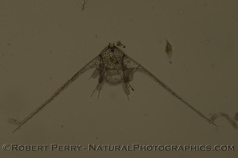 echinopluteus 2011 12-15 Zuma-a-002