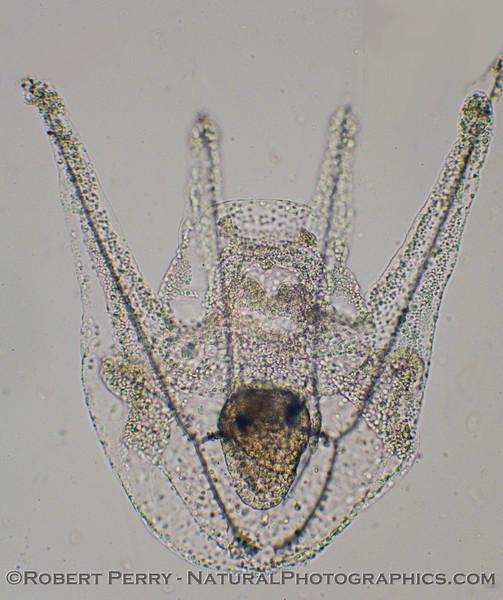echinopluteus 2011 01-13 Zuma Plankton - 005