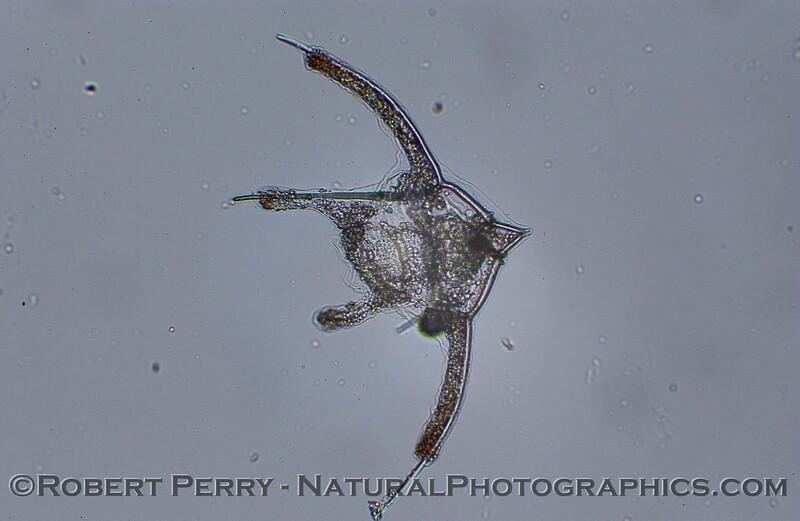 echinopluteus larva 2006 12-14 Zuma-002