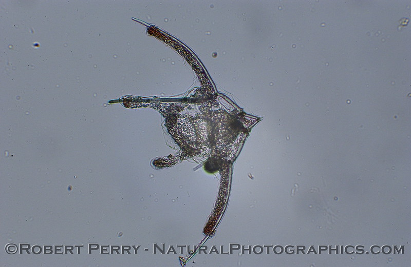 echinopluteus larva 2006 12-14 Zuma-003