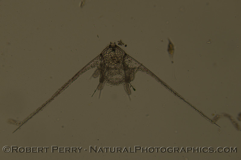 echinopluteus 2011 12-15 Zuma-a-012