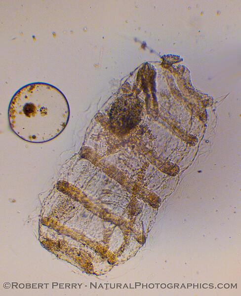 doliolaria larva 2009 11-19 Zuma Plankton - 011modCROP