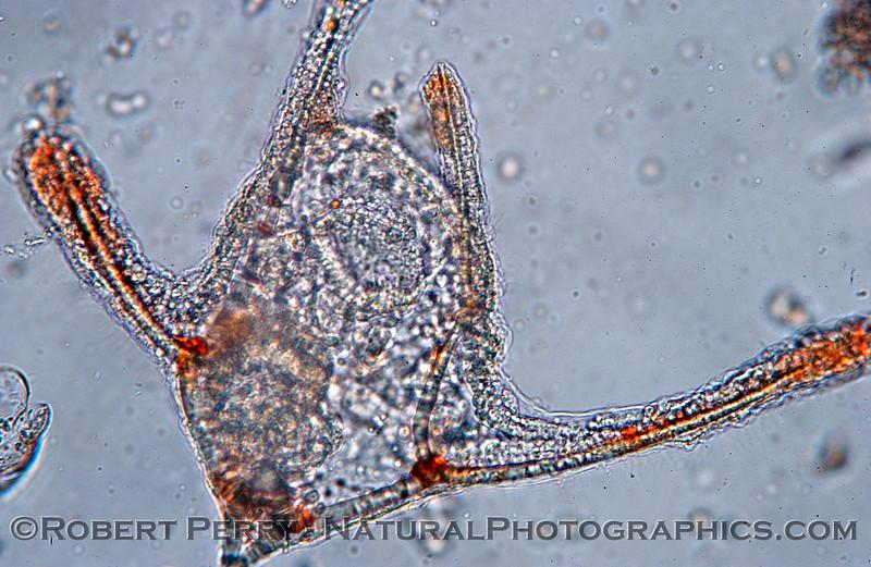 echinopluteus Zuma_Micro_2005_01-24--241mod