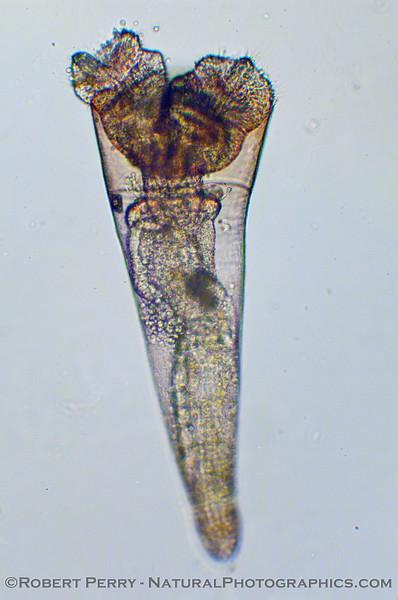 Pteropod 2009 11-19 Zuma Plankton b - 005modCROP