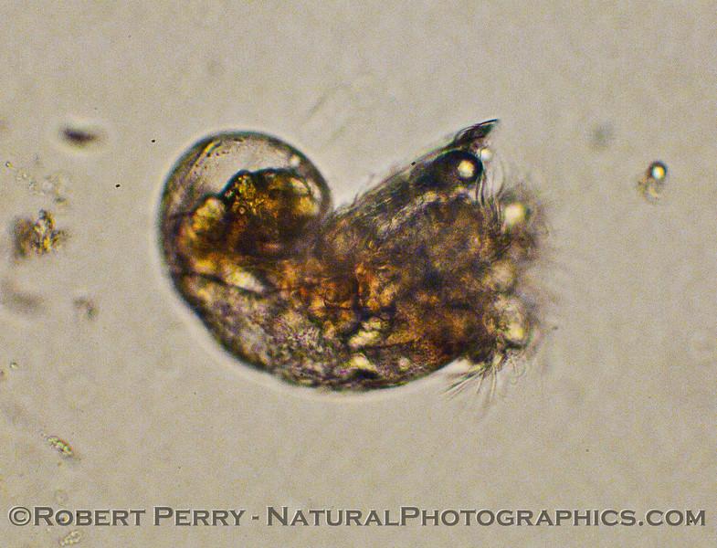 gastropod veliger 2010 01-07 Zuma Plankton c - 058