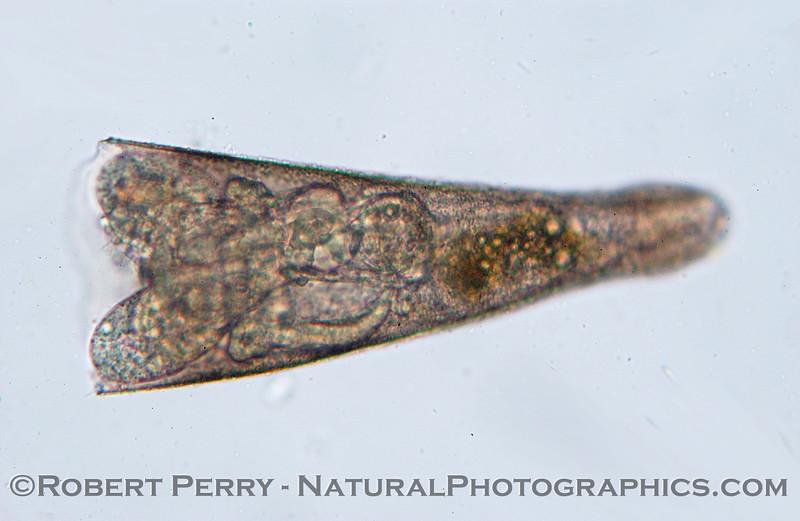 pteropod mollusk Sea_World_2004_07_20--004