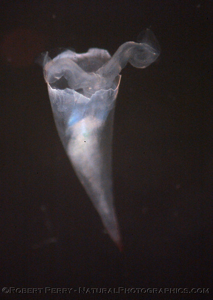 Pteropod Cavolinidae backlight Sea_World_Outer SM Bay_2004_08-17--103modCROP