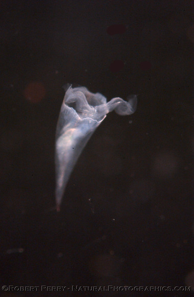 Pteropod Cavolinidae backlight Sea_World_Outer SM Bay_2004_08-17--108mod