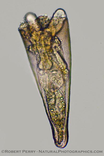 Pteropod 2010 01-07 Zuma Plankton c - 097