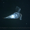 Pteropod backlight Sea_World_Outer SM Bay_2004_08-17--150MOD