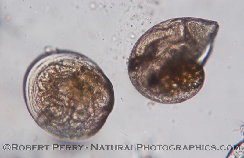 veligers gastropod & bivalve Sea_World_2004_07_20--012