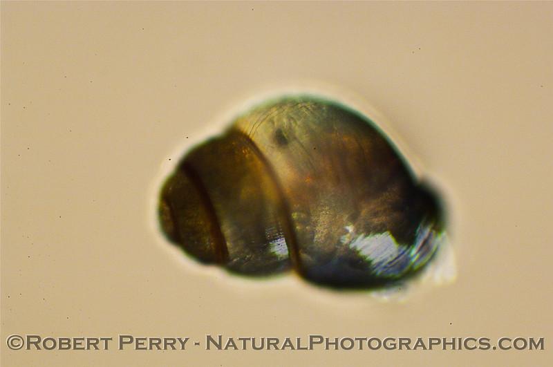late gastropod veliger composite 2010 01-07 Zuma Plankton b - 008
