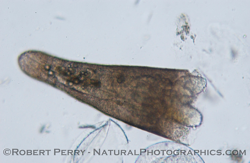 pteropod mollusk Sea_World_2004_07_20--001