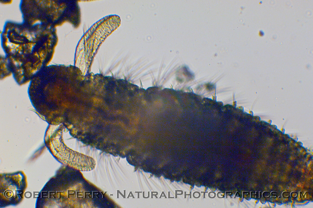 polychaete spionidae mid trochophore 2009 11-19 Zuma Plankton b - 001mod