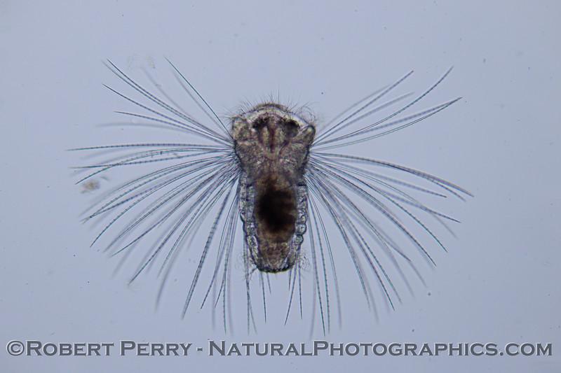 Polychaete early trochophore 2012-02-16 Zuma-027