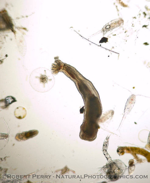 Unident worm 2008 02-14 Zuma-082crop